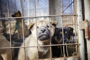 South Korea Dog Meat Farm
