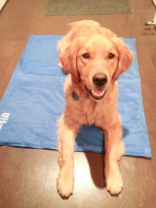 Tucker staying cool on his Chilly Mat. Photo by Carly Simpson, Tails of a Crazy Dog Mom