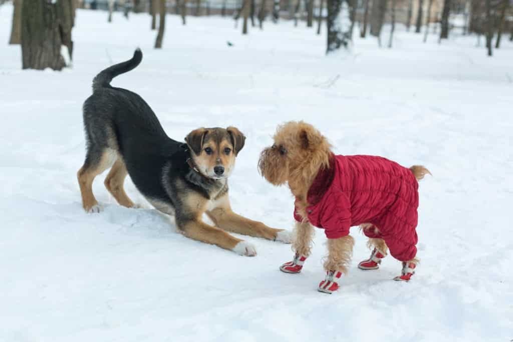 Two dogs on a walk playing in winter
