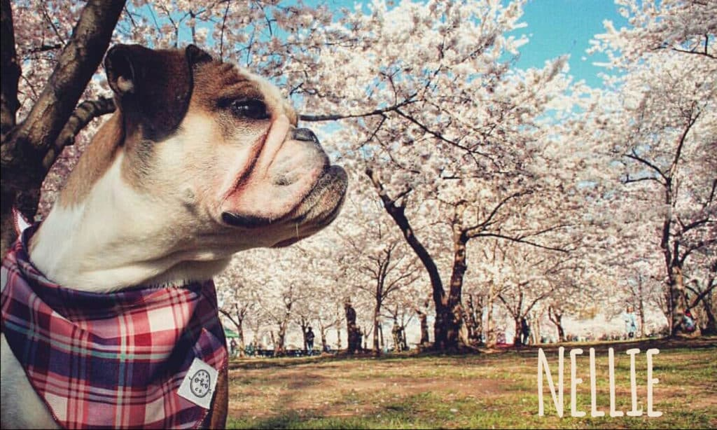 National Pet Day Washington DC cherry blossoms