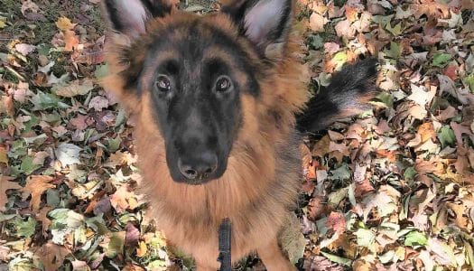 Meet Luna: A Medical Alert and Emergency Response Service Dog in the Making