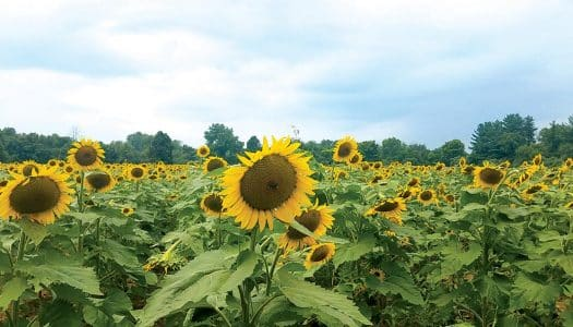 McKee-Beshers Wildlife Management Area:  Sunflower Fields